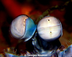 mantis shrimp by Georges Boudron