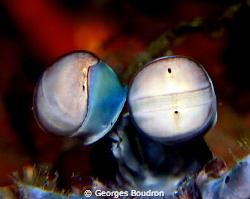 mantis shrimp by Georges Boudron