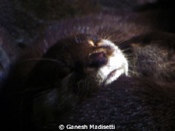 Otters sleeping, taken with my trusted Canon Powershot, n... by Ganesh Madisetti