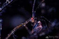 Skeleton Shrimp @ Tulamben by Sherry Hsu