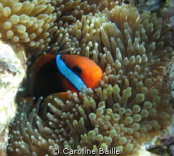 black anemone fish in his anemone by Caroline Baille