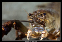 Closeup from freshwater crayfish ... by Christophe Warpelin