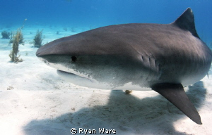 The amazing Tiger Shark by Ryan Ware