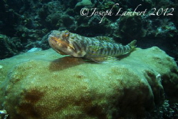 Lizard fish. Usually they're pretty well camouflaged but ... by Joseph Lambert