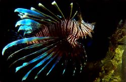Lionfish from Sabang Beach, Philippines. This image is sc... by Libor Spacek