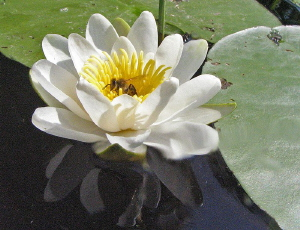 water lily honey Lake Schoehsee delicacy  July 2006  C... by Chris Krambeck