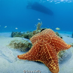 This starfish resting on a rock in the shallow waters of ... by Lisa Kelly