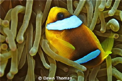 Anemone fish at home. by Dawn Thomas