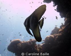 juvenile bat fish by Caroline Baille
