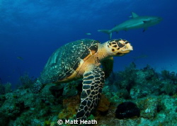 Hawksbill turtle and reef sharks by Matt Heath