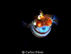 """Juvenile squid """"Showing Off"""" On my Nigth Dive. 6/9/2012 by Carlos Pérez"""
