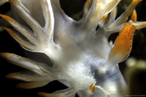 Flabellina babai with rinophore's syndactyly Detail, no ... by Fernando Trindade