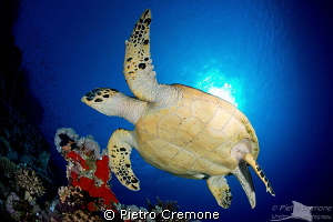 Turtle by Pietro Cremone