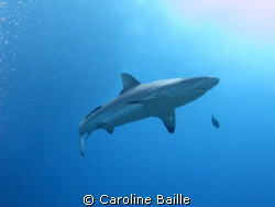 Grey Reef Shark by Caroline Baille