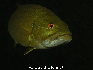 Another Bass portrait taken today at the Swing Bridge sit... by David Gilchrist