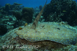 A flounder sitting on top of come coral. Usually they are... by Joseph Lambert