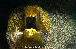 Murray eel by Yoav Lavi