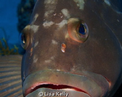 Very friendly grouper in the Dry Tortugas. Taken with Can... by Lisa Kelly