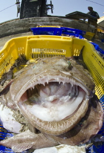 Monkfish (Lophius piscatorius) caught by trawler fishermen by Mathieu Foulquié