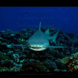 French Polynesia. Large Lemon sharks come up from the dee... by Christopher Ward