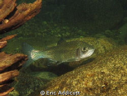 Big rainbow trout in a California river, North Fork Stani... by Eric Addicott