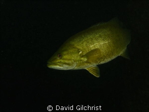 Bass beneath the piers, Welland Scuba Park by David Gilchrist