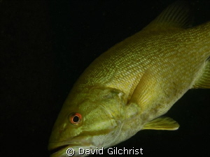 Bass,back for a closer look. Beneath the piers. Welland S... by David Gilchrist
