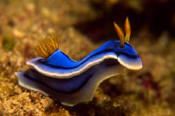 Nudibranch from Sabang Beach, Philippines. Slide scaned w... by Libor Spacek