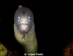 moray eel by Jurgen Pesch