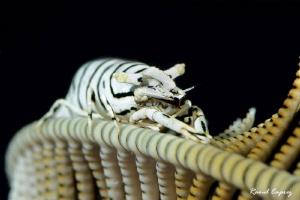 Commensal shrimp (Perriclimenes sp.) by Raoul Caprez