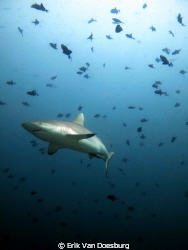 Grey reef shark surrounded by triggerfish by Erik Van Doesburg