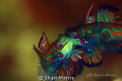 Mating Mandrin fish, shot at Sam's house site.  This was ... by Shari Morris