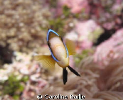 anemone fish by Caroline Baille