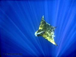 Mobula...Rays! by Charles Bernier