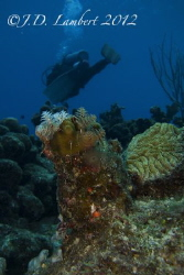 Christmas tree worms, diver in the background by Joseph Lambert
