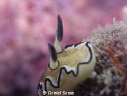 Glossodoris Atromarginata: Camera Model Sea&Sea DX2G; F-S... by Daniel Sasse