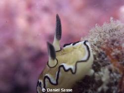Glossodoris Atromarginata: Camera Model Sea&Sea DX2G; F-S... by Daniel Sasse