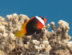 anemone fish on the reef by Caroline Baille