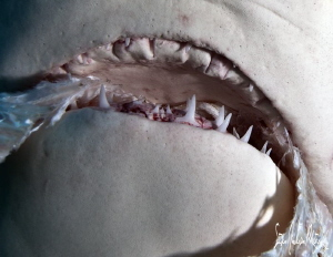 A grip on fish with a Lemon Shark at Tiger Beach - Bahamas by Steven Anderson