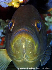 Face to face with a grouper by Alberto Gallucci