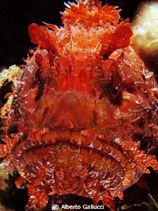 Face to face with a scorpion fish by Alberto Gallucci