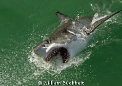 A great white lunges after the bait in Gansbaai. by William Buchheit