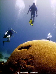 Humongous brain coral at Tobago. Due to strong currents (... by Erik Van Doesburg