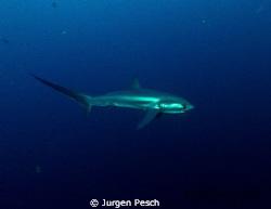 Tresher shark, Malapasqua by Jurgen Pesch