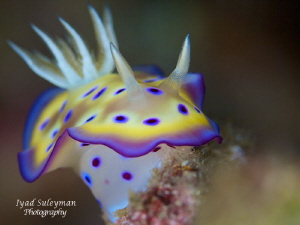 Chromodoris kune! by Iyad Suleyman