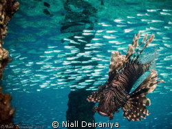 Lionfish chasing a ball of baitfish under a jetty in Nuweiba by Niall Deiraniya