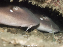 Cuttle Corner for two White spotted Bamboo Sharks by Daniel Sasse