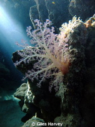 Soft coral in the catacombes of Marsa Bereka by Giles Harvey