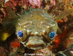 Puffer fish by Jurgen Pesch