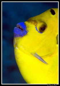 threespot angelfish by Dray Van Beeck
